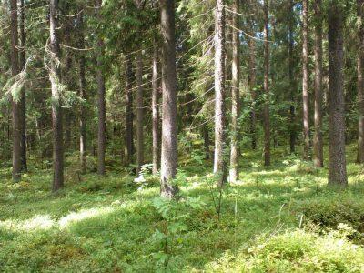 Vihreä metsä
